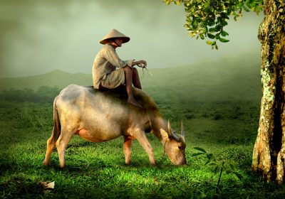 old guy on a cow